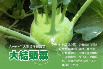大型結頭菜種子  (無絲、甜度高) 可重達8-10斤