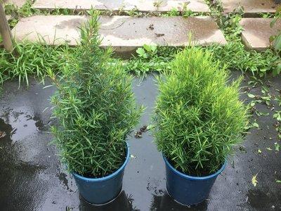 香草.灌木~密葉茶樹~5吋盆 高15~20公分~可做精油~花精靈植物的家