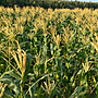 李家農場~自家栽種 無毒 水果玉米筍 產季12月