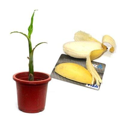 YenQ~仙樂麗答香蕉苗