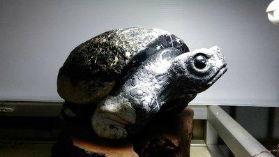 [尚軒-龜之鄉]蘇承志老師黑膽石雕平安亀/龜甲石
