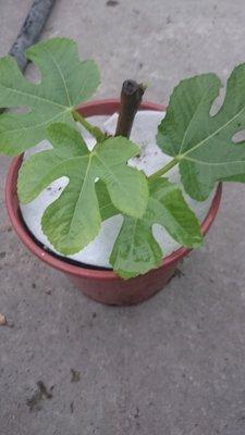 *~*台灣農業園藝*~*中國紫無花果苗,中紫無花果苗,2棵550(不含運)