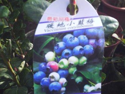 *~*台灣農業園藝*~*暖地小藍莓.平地可結果..(超會生品種)...大促銷買2送1
