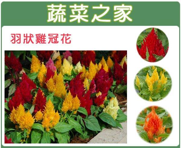 【蔬菜之家】H23.羽狀雞冠花種子0.55克(約70顆)(混合色,高40~60cm.花卉種子)