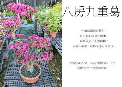 心栽花坊-八房九重葛/日本九重葛/造型樹/盆景/開花植物/售價3500特價3000
