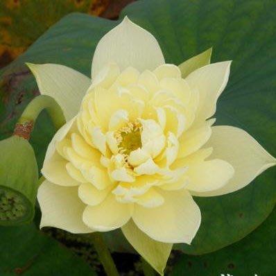 水生植物/睡蓮/ 碗蓮/睡蓮/大型荷花種子 碗蓮種子 品種可選/2入