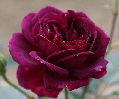 海潮之聲 Ebb Tide。悠遊山城(創始店)5-6吋盆玫瑰~特價180~任選3盆420