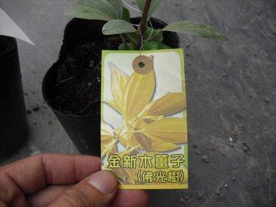 ╭☆東霖園藝☆╮庭園樹( 金新木薑子)(佛光樹)..約30-40公分