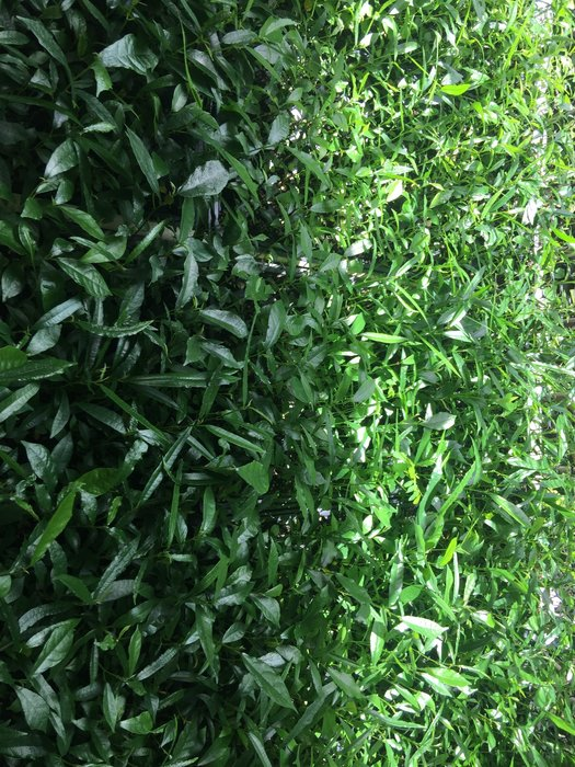 台灣天仙果 羊奶頭 .牛奶埔 128孔穴盤苗.一盤約140棵、苗約11-13公分左右.自取1600
