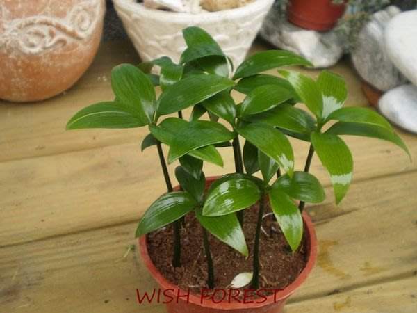 WISH FOREST【觀葉植物。竹柏】~~日式招財避邪植栽~~耐陰性佳~辦公室盆栽小品~