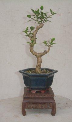 【大慶盆栽】小品、苦藍盤(文人樹)A912