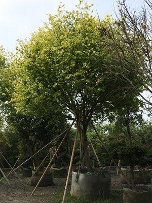 日本黃金欅木櫸木、台灣櫸木大型景觀餐廳飯店酒店豪宅會館用樹設計師首推