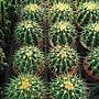 多肉植物 ** 金琥仙人掌 **6/ 7吋盆/ 高25公分...