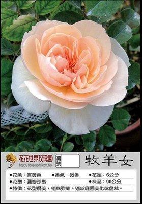 花花世界_玫瑰苗--牧羊女,灌木--英國玫瑰/3.5吋盆苗/高10~20公分/Tm