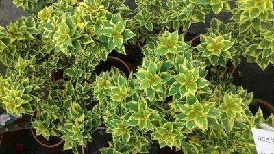 樹苗~水果苗~玫瑰苗~香草~圍籬樹苗 (( 斑葉九重葛  (紫紅)   ))6吋盆- 花花世界玫瑰園