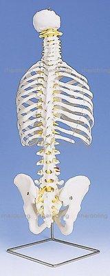 (ME-N_178)進口帶肋骨經典活動脊柱模型脊柱模型人體骨骼模型