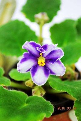 堤緣花語陶-淨化室內空氣植物-非洲紫羅蘭 Victorian Parasol 維多利亞洋傘 [經典珍藏]
