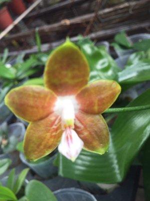 蝴蝶蘭原生種實生苗:P.venosa x sib