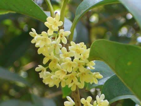 ╭*田尾玫瑰園*╯香花植物(四季桂花)盆植高1米350元