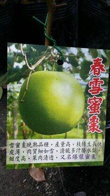 ╭*田尾玫瑰園*╯新品種水果苗-(春雪蜜棗)