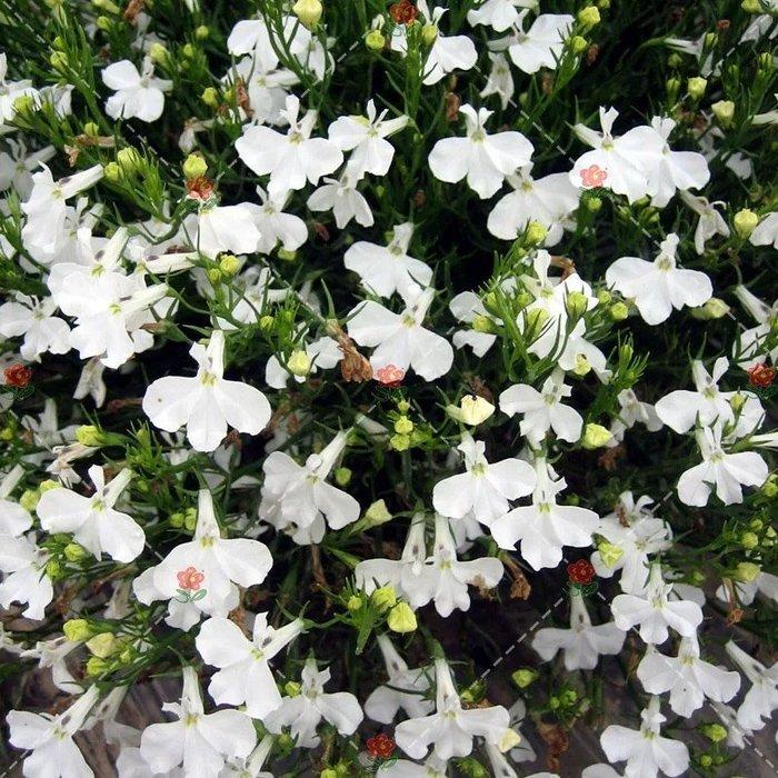 【小鮮肉肉】花卉種子四季易播 白色翠蝶花 種子10粒 垂吊花 六倍利 山梗菜