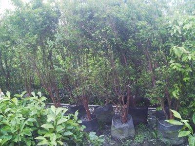 *~*台灣農業園藝*~*樹葡萄成樹..已會開花.....歡迎蒞臨鑑賞
