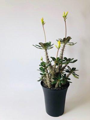 象牙宮 塊根植物