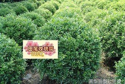 ╭*田尾玫瑰園*╯熱門綠籬球型(細葉七里香)30*30cm300元-有強烈香氣