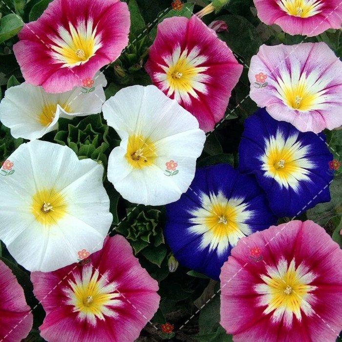 【小鮮肉肉】三色旋花 朝顏 牽牛花 彩旋花(混色) 種子10粒裝 花大色艷 盆栽庭院景觀