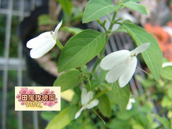 ╭*田尾玫瑰園*╯藥用植物--(白鶴靈芝)-二至四月間開花 .用途很廣