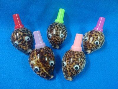 【鑫寶貝】貝殼DIY 貝殼笛螺 No.6  黑星寶螺 (螺本體約6公分) 單價50元  活動贈品