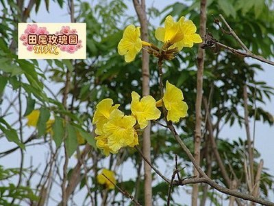 ╭*田尾玫瑰園*╯賞花庭園用樹-(黃花風鈴木成樹)-會隨著4季變化而更換風貌