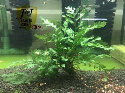 玩蝦坊(Fun Shrimp)水晶蝦 水族週邊 黑木蕨小顆10片葉以上