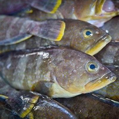 【澎湖黃石斑(土過魚)-約2斤/組】新鮮魚貨乾淨處理產地直送(秤重計價)-2501003