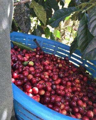 Merit Cafe 瓜地馬拉 薇薇特南果 SHB EP 水洗 咖啡豆 熟豆