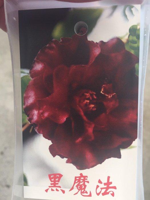 ╭*田尾玫瑰園*╯茶花--(黑魔法)(錦紅)(少女的初會)(正黃旗)(紫禁城)30cm60元