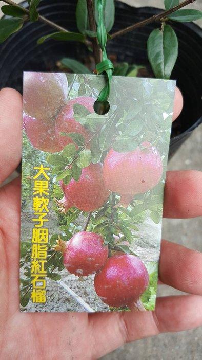 ╭*田尾玫瑰園*╯水果苗--(大果胭脂紅石榴)高20cm350元