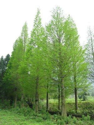 (青山園藝) 落羽松 米俓10~35cm 高度6~12米 黑松真柏紫檀油杉雪松含笑青楓桂花牛樟