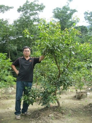 (青山園藝).牛樟.實生苗.高度約2~3米.頭徑約6~8cm. 黑松真柏肖楠油杉桂花梔子花含笑