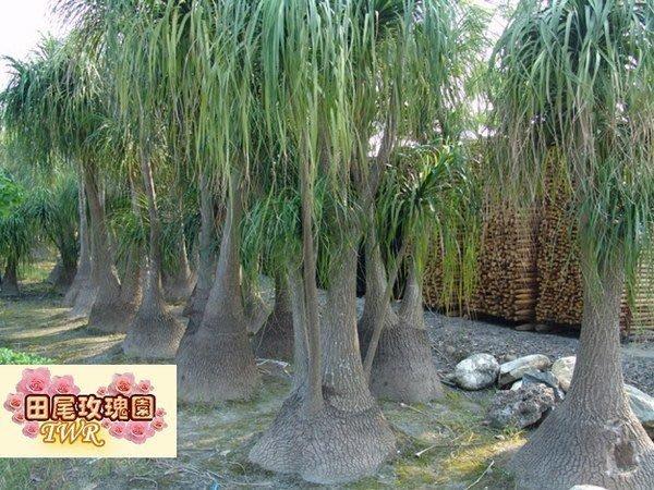 ╭*田尾玫瑰園*╯龍舌蘭科(酒瓶蘭)高2-3米5000元--特別耐乾旱..可半年澆不水