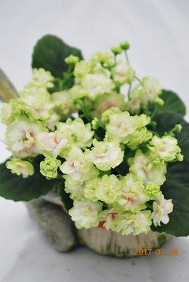 堤緣花語陶-淨化室內空氣植物-非洲紫羅蘭 Tiyuans Green Apple綠蘋果[台灣實生育種]