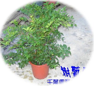 樹葡萄(嘉寶果) / 果實球狀似『巨峰葡萄』 - 千葉園藝有限公司