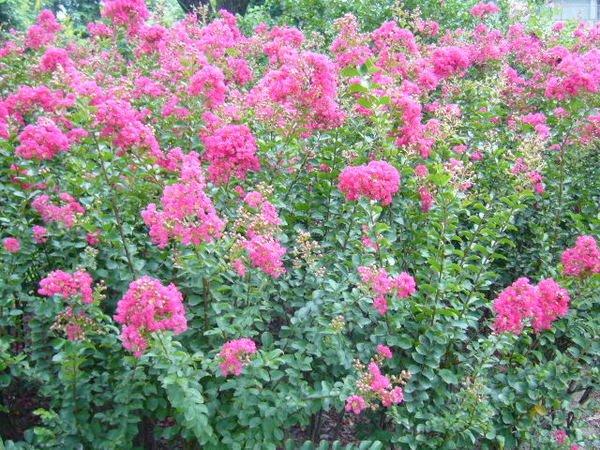 ╭*田尾玫瑰園*╯優良庭園用樹(紫薇)---花期較長的觀花植物