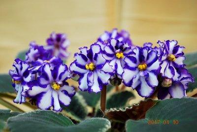 堤緣花語陶-淨化室內空氣植物-非洲紫羅蘭' Tiyuan's Evening Dress ' 晚禮服 [台灣育種]