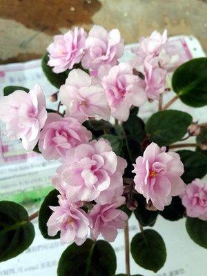 堤緣花語陶-淨化室內空氣植物-非洲紫羅蘭 Trinket ''O'' pink [人氣商品]