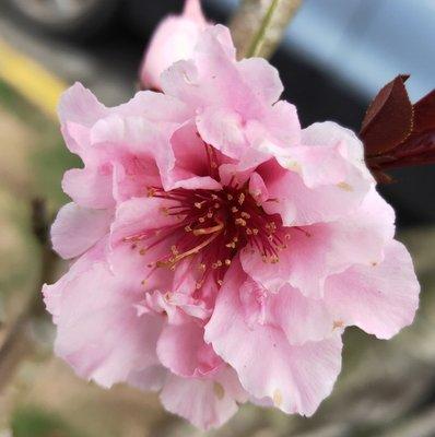 元茂園藝桃園愛買園區 招桃花/玫瑰香水桃 兩年盆栽,實品拍攝