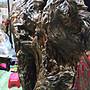 台灣黃檜樹頭倒格瘤花卷絲鳳尾瘤底座台灣肖楠樹頭