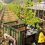 全新U-MO電動搬運車/採收車/田間搬運機(充電式)(無煙/無震動/無噪音/免保養)(適合農地/菜園/果園/溫室)免運費