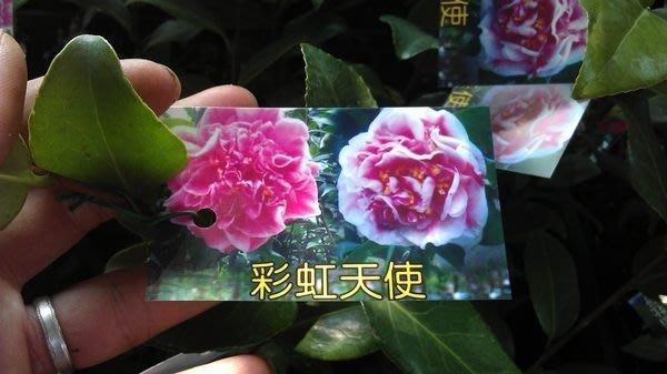 ╭☆東霖園藝☆╮茶花----(彩虹天使)---大型花  缺貨中