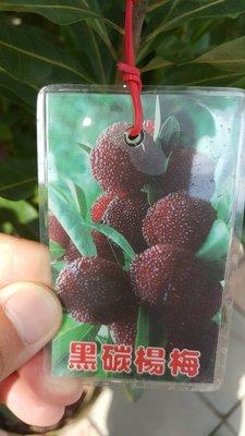 ╭*田尾玫瑰園*╯優良水果苗--(黑碳楊梅)高1米2400元